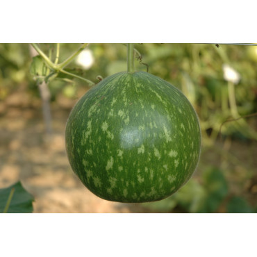 Bottle Gourd Round Dark Green Seeds